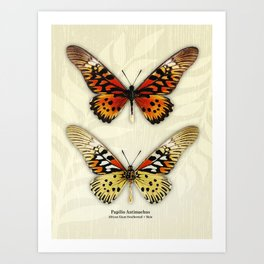 Butterfly14_Papilio Antimachus • male pair Art Print