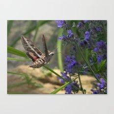Hummingbird Moth Canvas Print