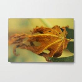 Wilted papaya tree leaf  Metal Print