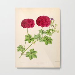 Ivy Leaved Pelargonium Metal Print