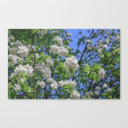 White Apple Flowers Branch Close Up Spring Canvas Print