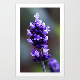 lavender flower Art Print
