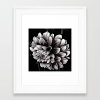 dahlia Framed Art Prints featuring Dahlia by BavosiPhotoArt