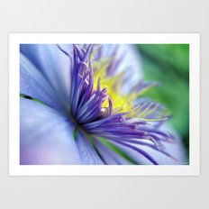 Clematis in Full Bloom Art Print