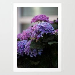 Big Hortensia flowers in front of a window Art Print