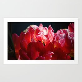 Red Parrot Tulips close up II Art Print