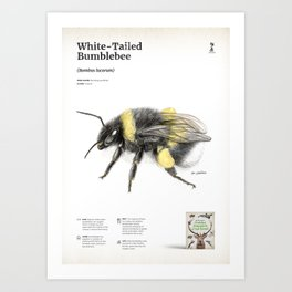 White-tailed bumblebee, poster #1 Art Print