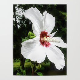 The White Hibiscus Flower Poster