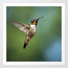 Flying Hummingbird Art Print