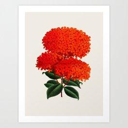Vintage Scientific Flower Illustration Large Red Flowers Large Orange Petals Art Print