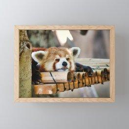 Red Panda Sleeping Framed Mini Art Print