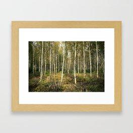 Silver Birch Forest Framed Art Print