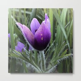 Pasque flower Metal Print