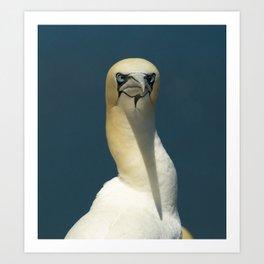 More nesting Gannets Art Print