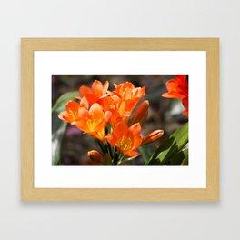 Bright Orange Clivia Framed Art Print