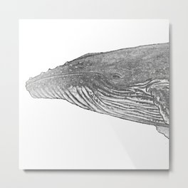 Grey Humpback whale portrait Metal Print