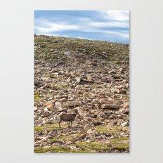 Bighorn Sheep, Rocky Mountain National Park Canvas Print