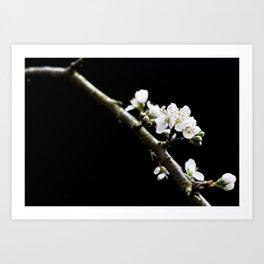 Damson Blossom Art Print