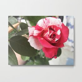 Spectacular Striped Rose Bud Metal Print
