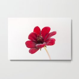 Chocolate cosmos flower Metal Print