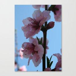 Pastel Pink of Peach Tree Blossom Canvas Print