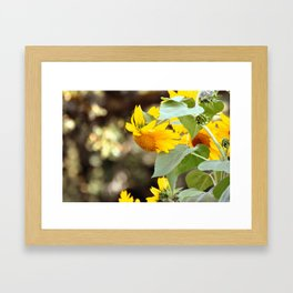 SUNFLOWER IN THE LATE AFTERNOON SUNLIGHT GLOW Framed Art Print