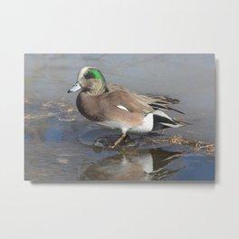 American Wigeon Duck Metal Print