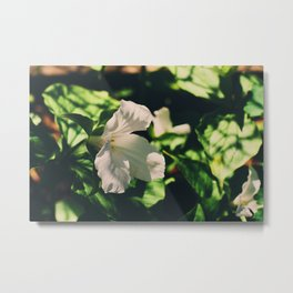 Lily blooming Metal Print