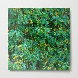 Acacia leaves Metal Print