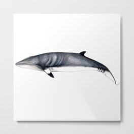 Minke whale Metal Print