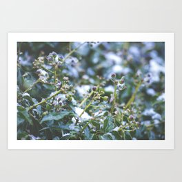 Winter Ivy Berries - Nature Photography Art Print