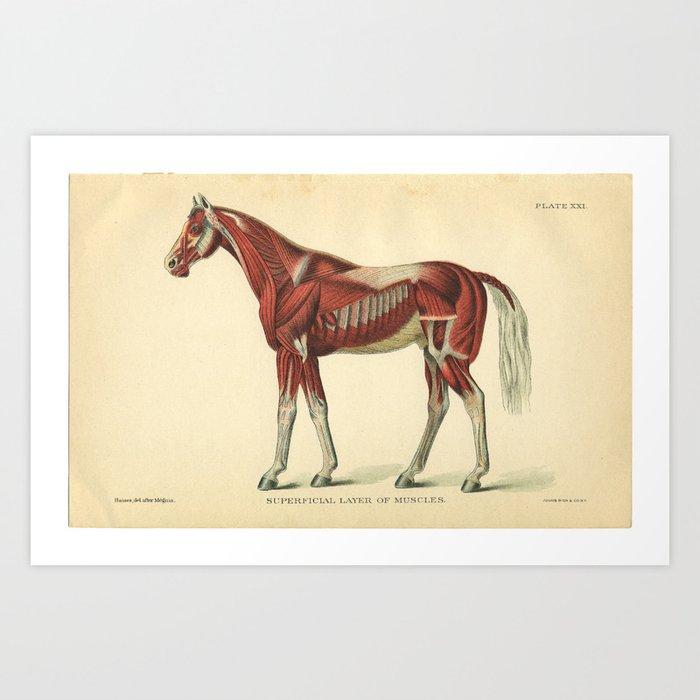 Vintage Horse Muscle Anatomy Print Art Print by aburnski | Society6