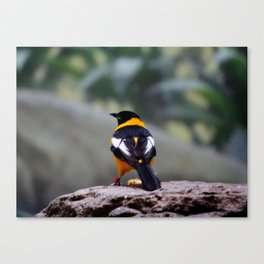 Troupial Feathers Canvas Print