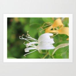 Honeysuckle Art Print