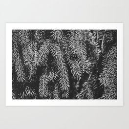 Branches of spruce full frame nature background. Art Print