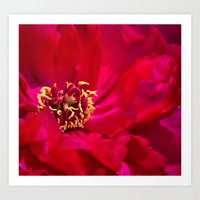 peony Art Prints featuring Peony by Christine Belanger