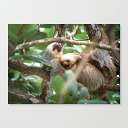 Yawning Baby Sloth - Cahuita Costa Rica Canvas Print
