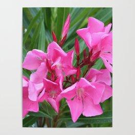Pink Oleander Bouquet Closeup  Poster
