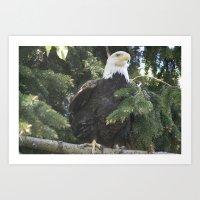 Bald Eagle in Calgary Zoo Art Print
