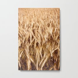 golden cereal grain ears on field Metal Print