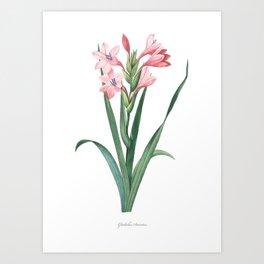 HIGHEST QUALITY botanical poster of Gladiolus Art Print