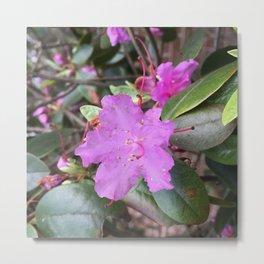 Purple Azaleas in New England Flower Garden Metal Print