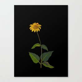 Rudbeckia Trifoliata Mary Delany British Botanical Paper Flower Collage Delicate Flowers Canvas Print
