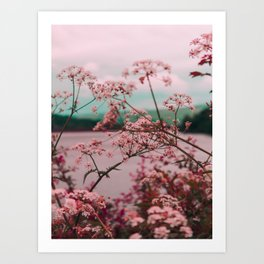 Pink Baby's Breath White Pink Blossoms Against Turquoise Background Art Print