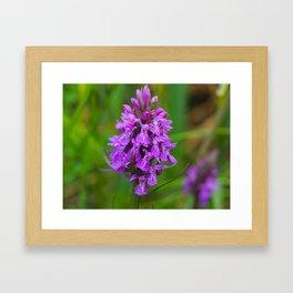 Northern Marsh Orchid (Dactylorhiza purpurella) Framed Art Print