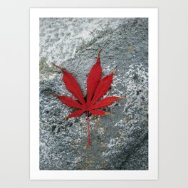Japanese maple leaf on Rock Art Print