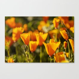 Poppies in Bloom at the California Superbloom Canvas Print