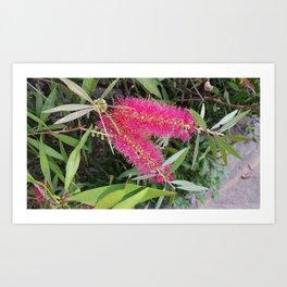 Pink Bottlebrush Flower (Callistemon) Art Print