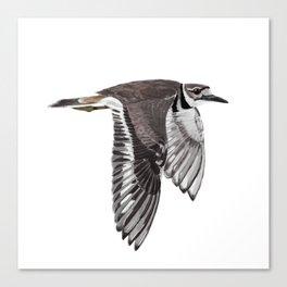 Vociferus peruvianus - Charadrius - Killdeer - Chorlo gritón Canvas Print