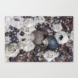 Periwinkles and Barnacles on a rock Canvas Print